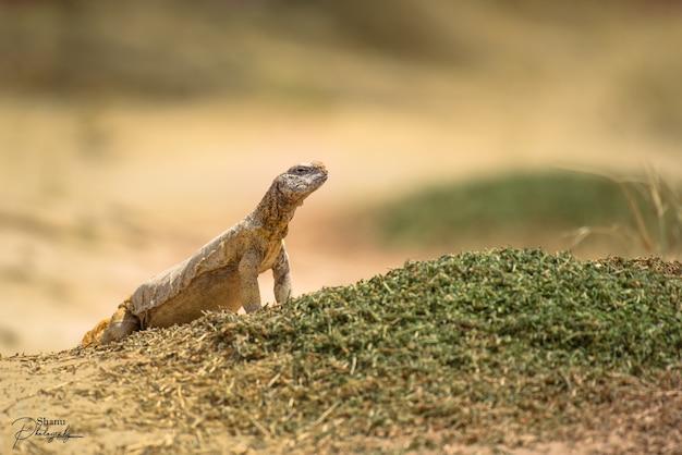 Foto de foco seletivo do lagarto agamida uromastyx