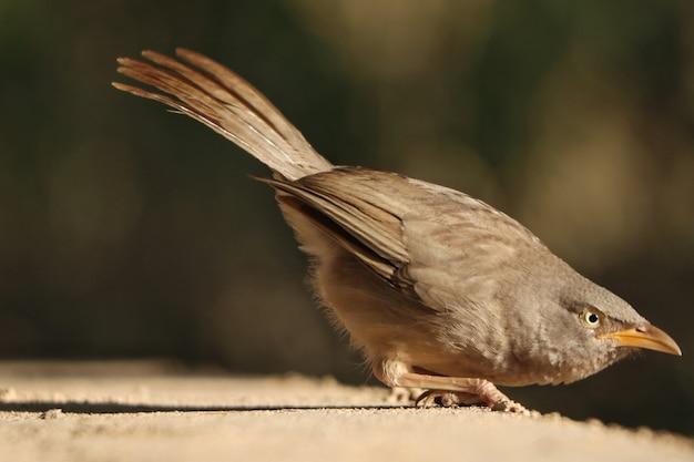 Foto de foco seletivo do pássaro jungle babbler em uma superfície de concreto