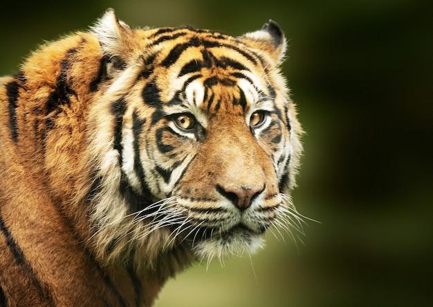 Foto de foco seletivo do rosto do tigre de bengala
