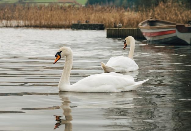 Foto de foco seletivo dos magníficos cisnes nadando em um lago perto de um barco