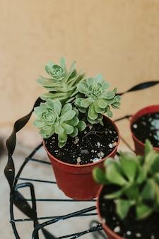 Foto de foco seletivo vertical de plantas greenovia dodrentalis em vasos marrons