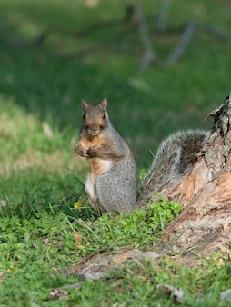 Foto de foco seletivo vertical de um esquilo em uma floresta