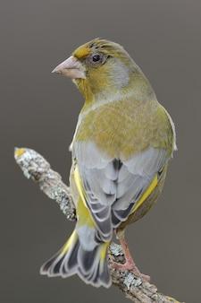 Foto de foco seletivo vertical de um lindo pássaro amarelo no galho de uma árvore
