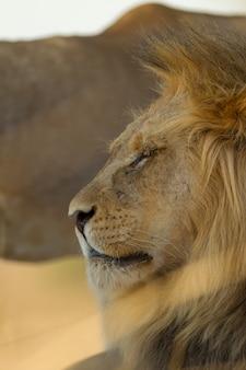 Foto de foco seletivo vertical de um magnífico leão no deserto
