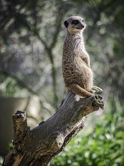 Foto de foco seletivo vertical de um suricato em um tronco no parque branitz, na alemanha