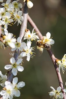 Foto de foco seletivo vertical de uma abelha em flores de cerejeira
