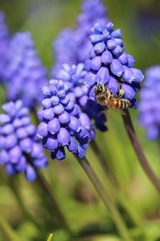 Foto de foco seletivo vertical de uma abelha em plantas muscari armênio azuis