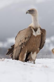 Foto de foco seletivo vertical de uma águia-careca magnífica no solo coberto de neve