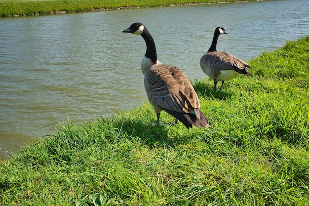 Foto de gansos de cabeça preta parados na costa