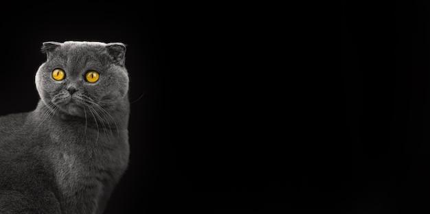Foto de gato emocional surpresa em estúdio, banner de raça scottish fold em um fundo preto isolado com foto de espaço de cópia
