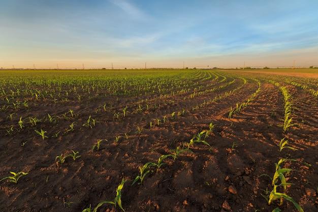 Foto de germinação de milho / madrugada em campo agrícola