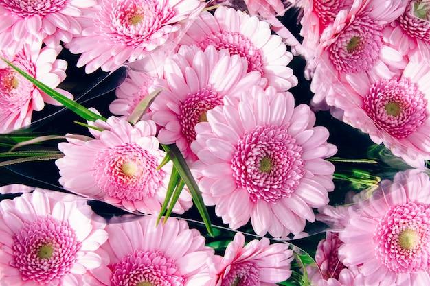 Foto de grande angular de belas margaridas barberton rosa claro