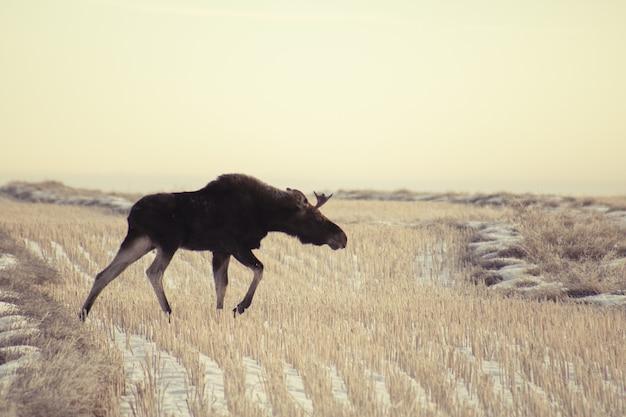 Foto de grande angular de um alce caminhando em um campo de grama seco