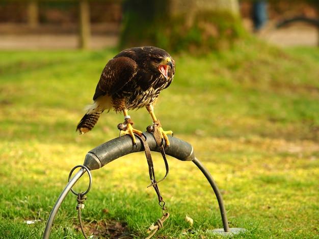 Foto de grande angular de um falcão negro em pé sobre um pedaço de metal