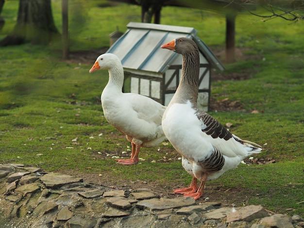 Foto de grande angular de um pato e um ganso próximos um do outro, perto de uma pequena casa