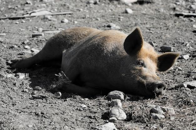 Foto de grande angular de um porco dormindo no solo