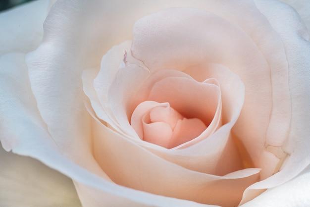 Foto de grande angular de uma linda rosa branca e rosa