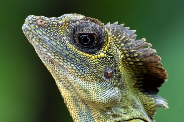 Foto de grande plano do lagarto-cabeça-de-ângulo (gonocephalus bornensis)