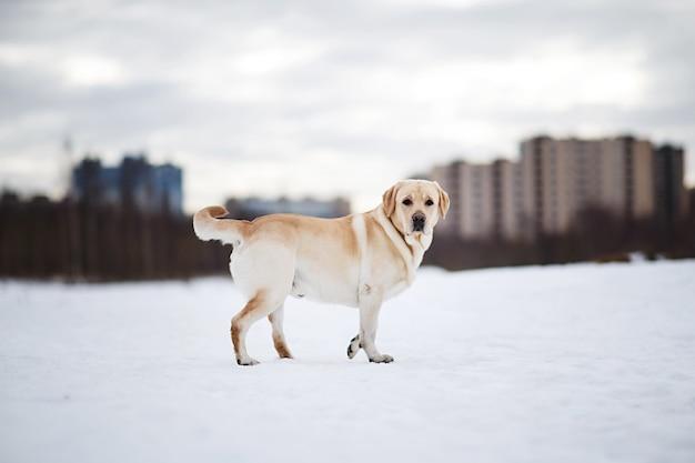 Foto de inverno de um labrador dourado na neve