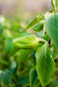 Foto de jardim pouco pimenta verde