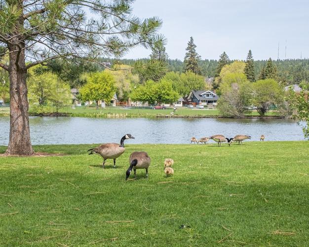 Foto de paisagem de gansos e seus bebês comendo grama ao redor de um lago