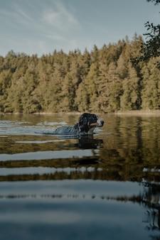 Foto de perfil de um cão da montanha de bernese fofo nadando no lago