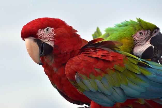 Foto de perto de papagaios arara