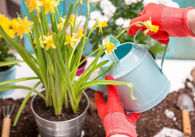 Foto de solo, regador, mãos humanas em luvas de borracha vermelha, regando flores