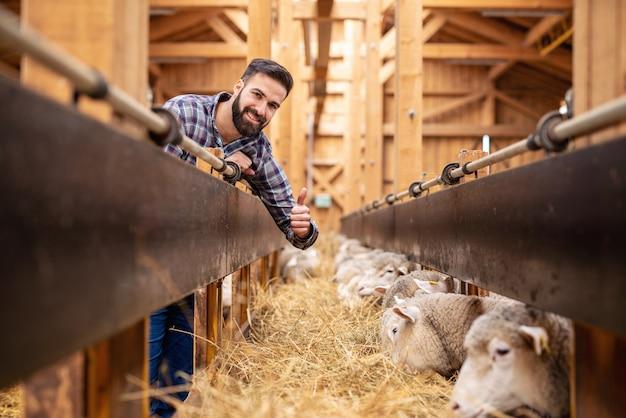 Foto de sorridente trabalhador agrícola barbudo mostrando os polegares enquanto o gado ovino comendo feno na fazenda.