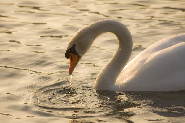 Foto de tirar o fôlego de um cisne gracioso nadando no lago sob a luz do sol