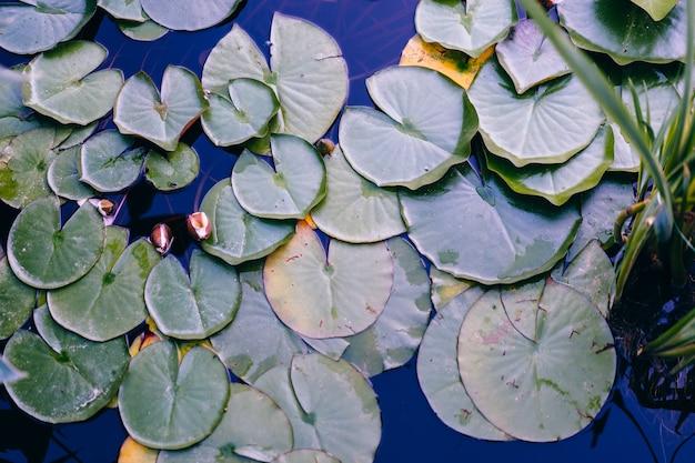Foto de tom escuro de folha de nenúfar na superfície da água
