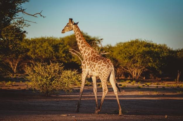 Foto de trás de uma girafa fofa em um campo com árvores baixas ao fundo