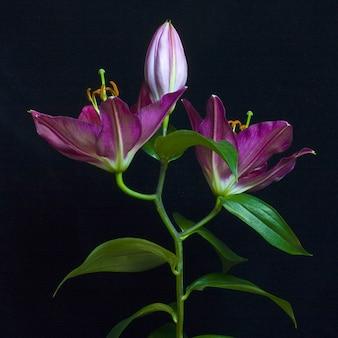 Foto de um botão e lírios roxos totalmente floridos com fundo traseiro