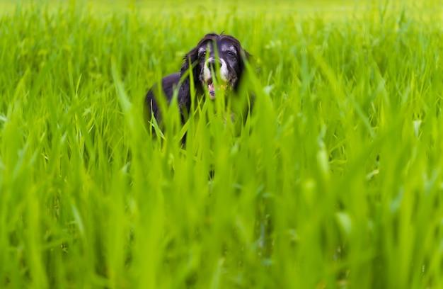 Foto de um cocker spaniel inglês negro brincando na grama alta