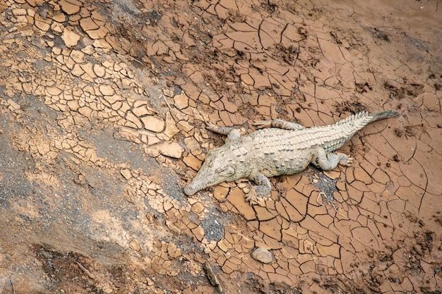 Foto de um crocodilo gigante na lama seca e rachada