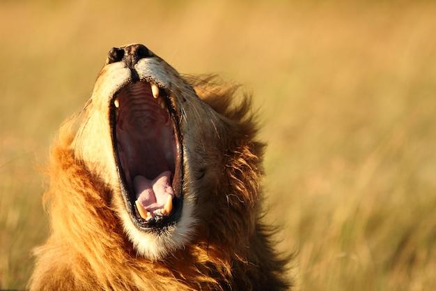 Foto de um leão bocejando