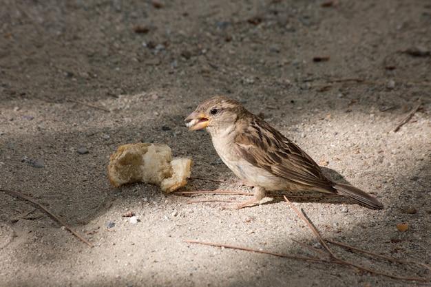 Foto de um pequeno pardal comendo um pedaço de pão
