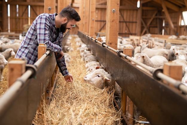 Foto de um trabalhador agrícola barbudo com roupas casuais, alimentando animais domésticos de ovelhas na fazenda.