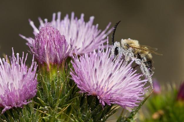 Foto de uma abelha cheia de pólen das flores roxas de cirsium