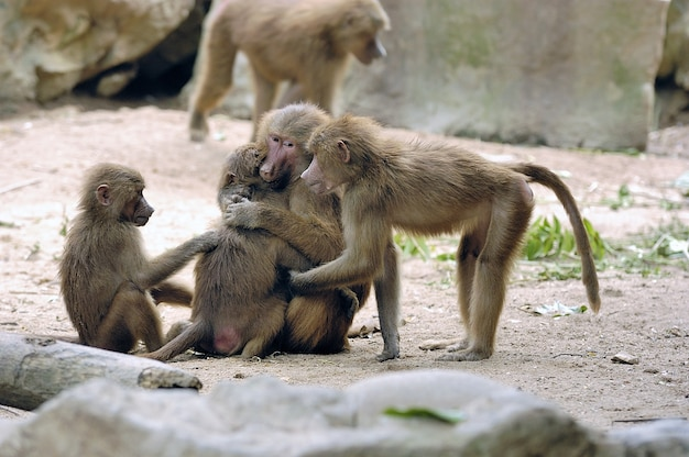 Foto de uma adorável família de macacos se abraçando