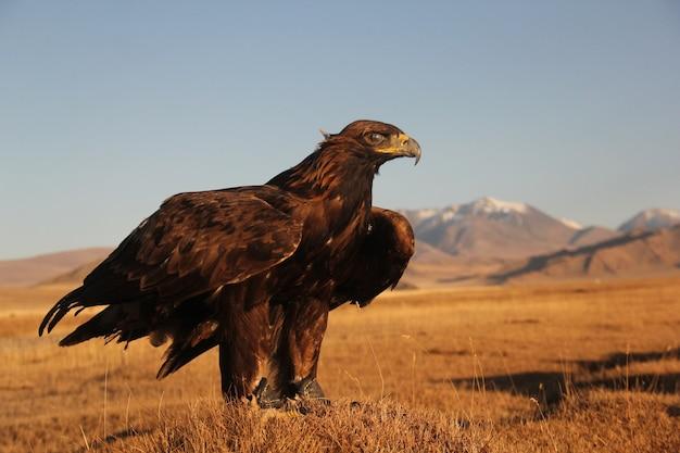 Foto de uma águia dourada pronta para voar em uma área deserta com montanhas