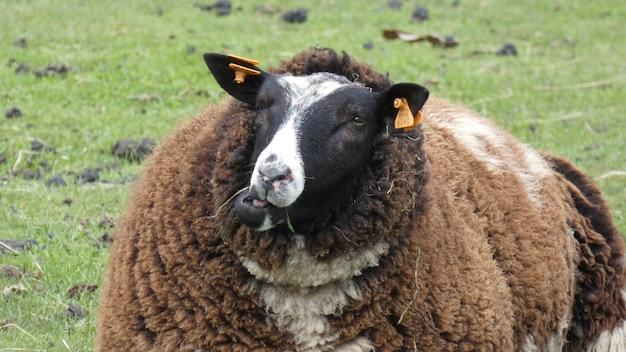 Foto de uma ovelha marrom peluda em um campo