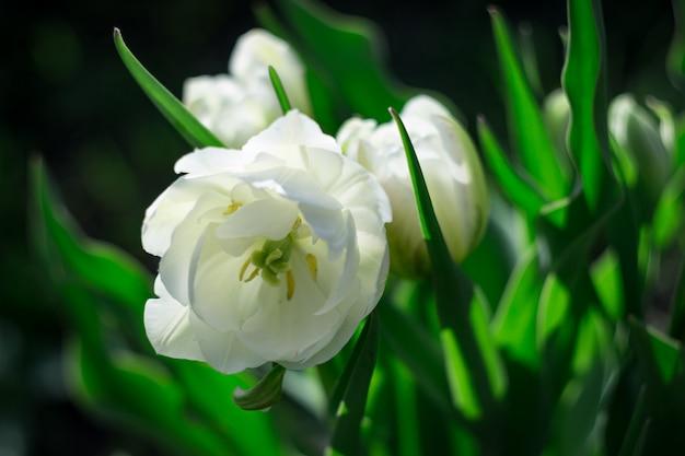 Foto do close-up das tulipas brancas da flor completa no fundo verde. fundo de flores.