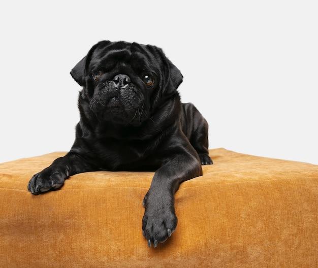 Foto do companheiro cão pug isolada na parede branca do estúdio