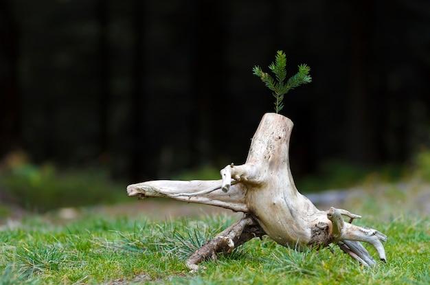 Foto do esboço abstrato na natureza com fundo escuro borrado. toco de árvore velha. seque morto senão com um galho de pinheiro nele. o começo de uma nova vida.