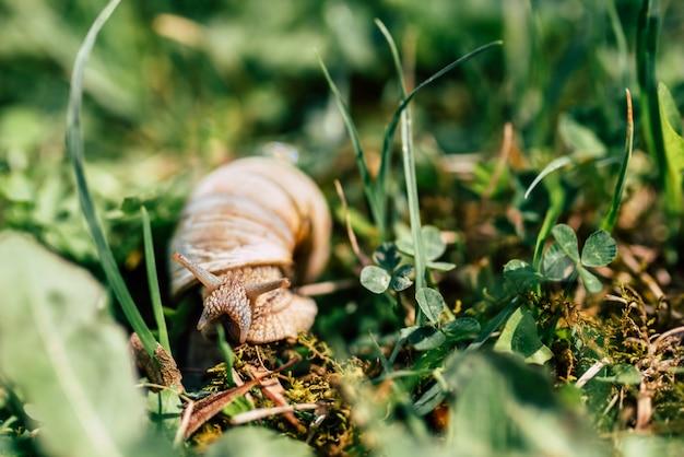Foto do pequeno caracol na grama