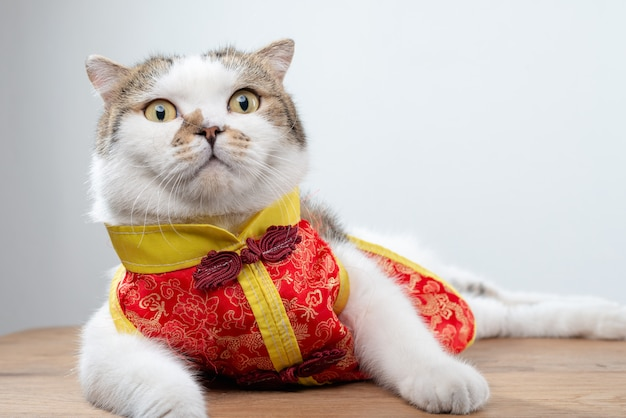 Foto do retrato do gato doméstico bonito do shorthair na roupa do estilo chinês.