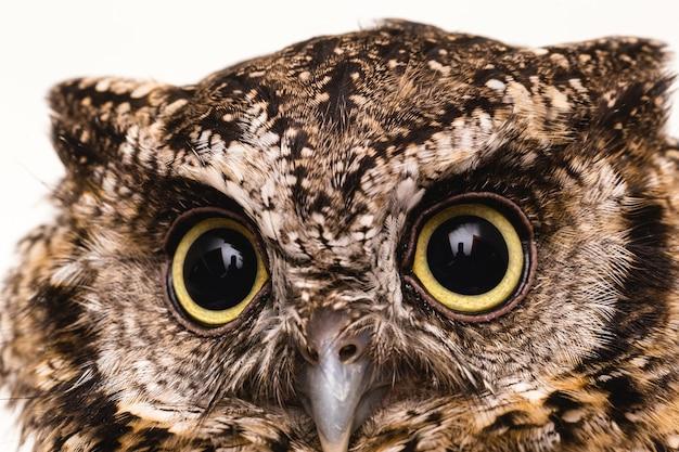 Foto do rosto de uma coruja, olhos grandes.
