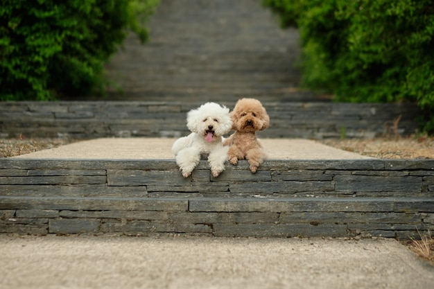 Foto dos poodles sentados olhando para a frente