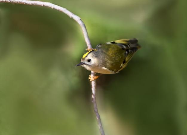 Foto em close de um goldcrest sentado no galho e pronto para pular